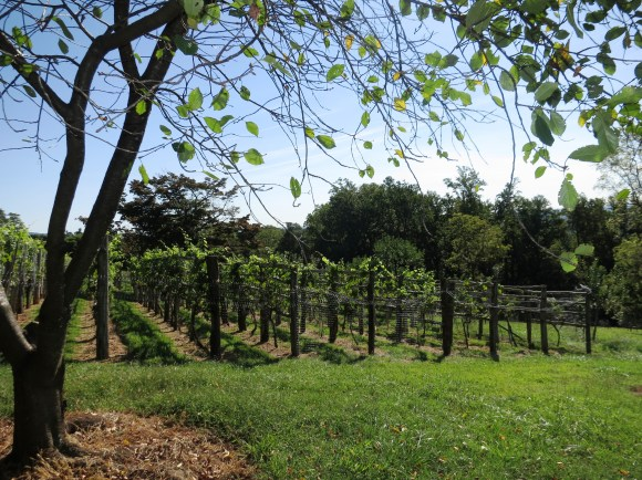 Grapes in the orchards at Monticello.