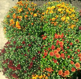 PHOTO: Garden mums in bloom.