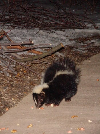 PHOTO: A small skunk is feeding on squirrel corn on a dark winter evening.