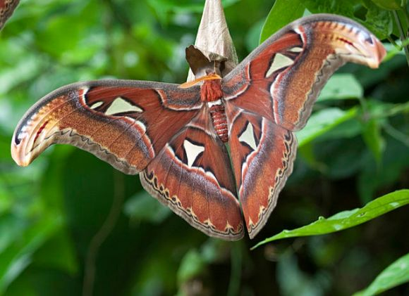 PHOTO: Atlas moth.