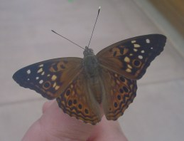 PHOTO: Hackberry emperor butterfly shown with its characteristic pattern of black and white stripes against brownish orange background.