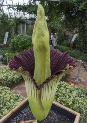 PHOTO: Alice the Amorphophallus in full bloom, around 8 a.m. on September 29, 2015.