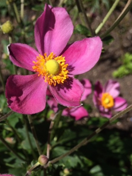 PHOTO: Anemone x hybrida 'Pretty Lady Susan'