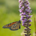 Butterfly on Liatris