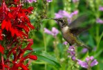 I found this hummingbird in the Children's Vegetable Garden, visiting the Cardinal Flowers. ©Carol Freeman