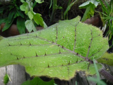PHOTO: this close up of a naranjillo leaf shows sharp thorns sticking up from the veins of the leaf.
