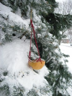 PHOTO: Grapefruit birdfeeder hung from a snow-covered fir.