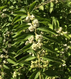 PHOTO: Callicarpa japonica 'Leucocarpa' (Japanese beautyberry).