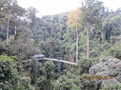 PHOTO: A view back across the canopy bridge reveals how high the path is in the trees.