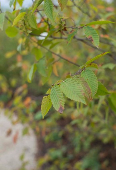 PHOTO: Carpinus caroliniana 'JN Select'