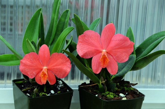Cattleya Wild Fire, a hybrid of Cattleya coccinea and Cattleya wittigiana.