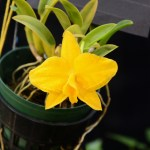 PHOTO: Cattleya coccinrea var. aurea