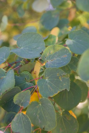 In early fall, the gold outline of katsura tree leaves is particularly visible as they begin to change color.