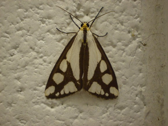 PHOTO: Colona moth (Haploa colona).