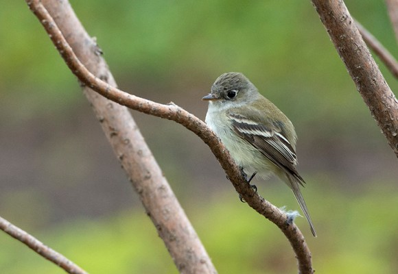 PHOTO: Least flycatcher.