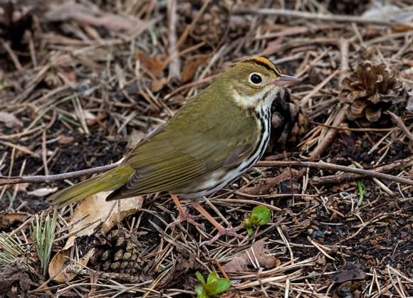 PHOTO: Ovenbird.