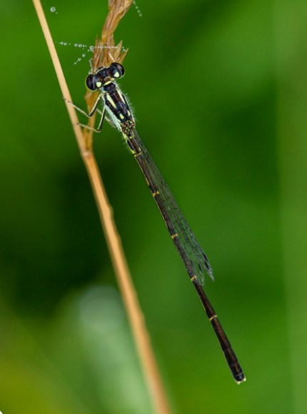 PHOTO: Male Fragile Forktail damselfly.
