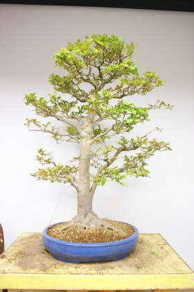PHOTO: A leafed-out bonsai, ready to display for the season.