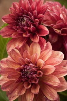 PHOTO: Dahlia 'Gitt's Crazy'.