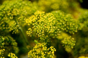 PHOTO: Dill plant in bloom with an abundance of yellow flowers.