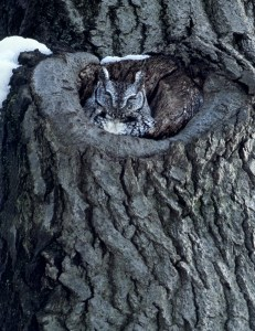An eastern screech-owl snuggles in to its nest in winter. Photo by Carol Freeman.