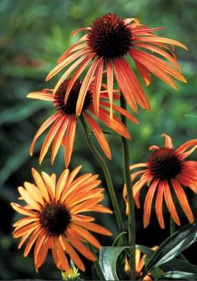 PHOTO: A closeup of the unusual bright orange color of Art's Pride coneflower.