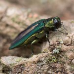 PHOTO: Closeup of an adult emerald ash borer.