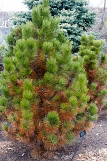 PHOTO: A browned Bosnian pine, with fresh green growth at the tips of its branches.