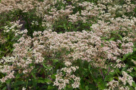 PHOTO: Eupatorium perfoliatum 'Milk and Cookies'