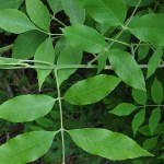 Fraxinus_pennsylvanica_leaves