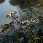 PHOTO: frost on roses.