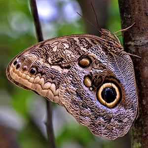 Giant owl butterfly (Caligo memnon)
