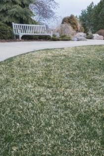 PHOTO: Grass showing winter damage.