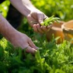 PHOTO: Hand-picking herbs. Photo © beall + thomas photography.