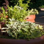 PHOTO: Container garden of sages, celery, purple basil, and creeping thyme.