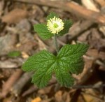 PHOTO: golden seal (Hydrastis canadensis); a single plant in bloom.