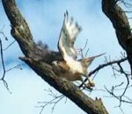 PHOTO: a red-tailed hawk spreads its wings and flies from the oak tree branch it has been perched upon.