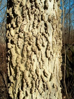 PHOTO: This shows a close up of the bumpy, scraggly bark of a hackberry tree.