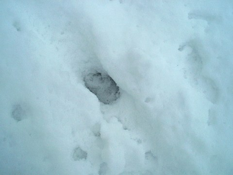 PHOTO: the single track of a coyote is seen in the snow.