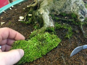 PHOTO: Cutting away moss from the trunk of a bonsai.