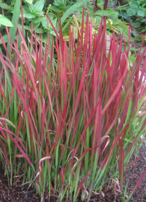 PHOTO: Imperata cylindrica 'Rubra', or Japanese blood grass.