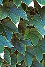 Ivy (Parthenocissius)