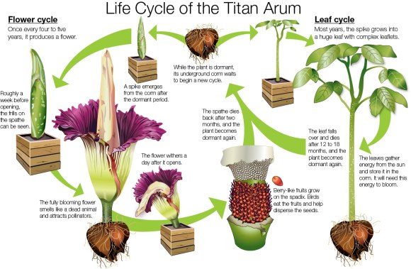 DIAGRAM: Life Cycle of the Titan Arum (Amorphophallus titanum).