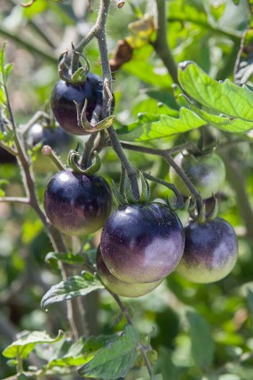PHOTO: Indigo Rose tomato