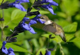 PHOTO: Hummingbird gathering nectar.
