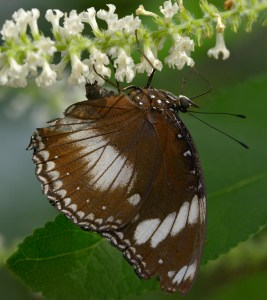 PHOTO: Friar Butterfly