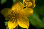 Marsh marigold (Caltha palustris) ©Carol Freeman
