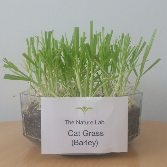 PHOTO: eight inch glass planter with green grass and label that says: Cat Grass (Barley).