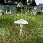 PHOTO: Mushroom in the lawn in front of a house.