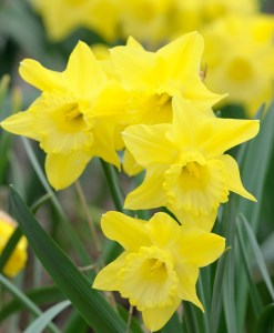 PHOTO: Narcissus 'Dutch Master'